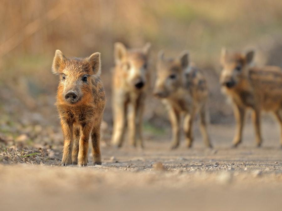 Baby boar SBP ARO